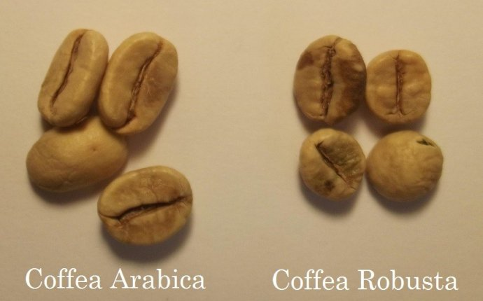 ROBUSTA COFFEE BEANS | WIKI COFFEE | COFFEANA - For Coffee Lovers