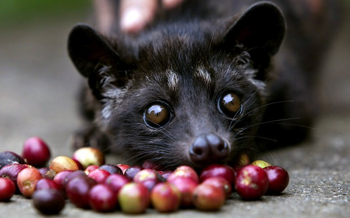 What is Cat Poop Coffee? (aka Kopi Luwak Coffee)