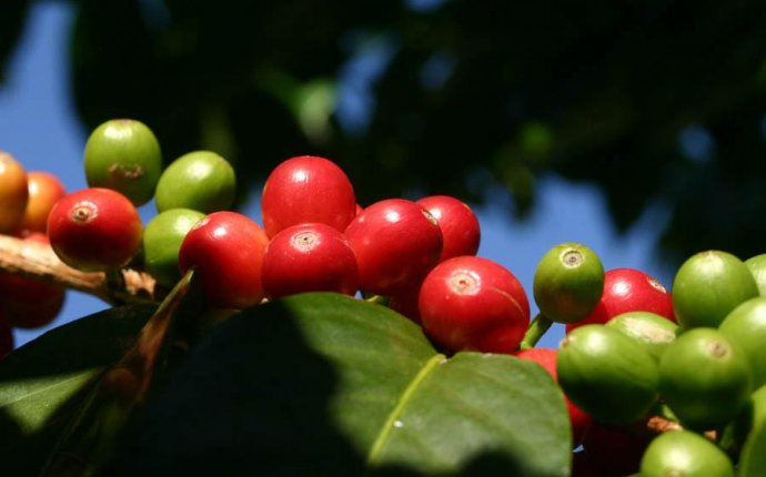 Coffee beans tree or bush