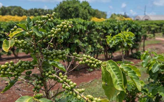 coffee plantation oahu