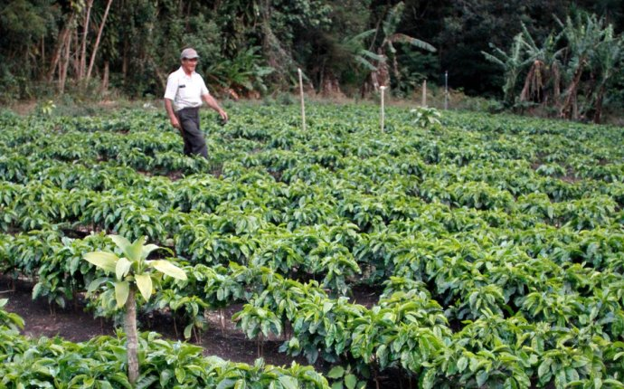 Coffee bean Farming