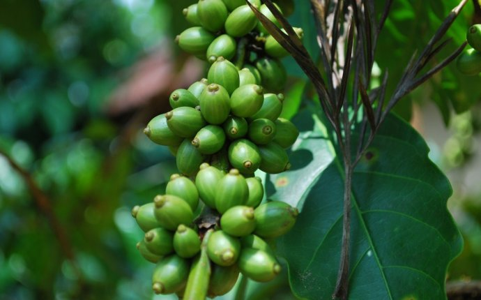 Green coffee bean seeds
