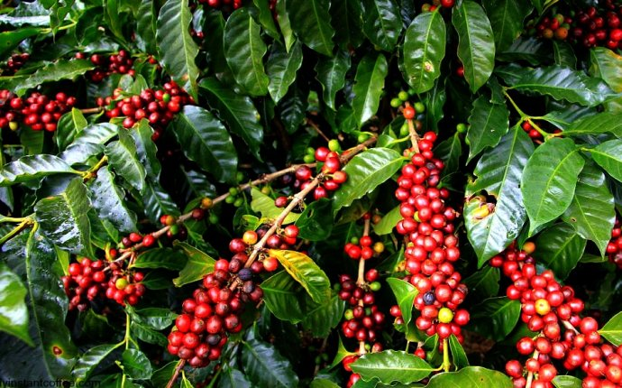 coffee beans production