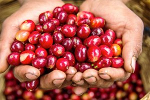 toomers_coffee_roasters_coffee_cherry